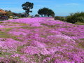 Ice plant flower field Royalty Free Stock Image