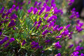 Ice plant lampranthus multiradiatus plant in spring Royalty Free Stock Image