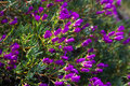 Ice plant plant with in spring Royalty Free Stock Image