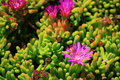 Ice plants in pacific west coast Stock Photos