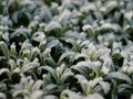 Ice plants on some or frozen leafs Stock Photo