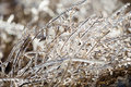Ice plants trapped in winter frosts coated with Royalty Free Stock Images