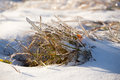 Ice plants trapped in winter frosts coated with Stock Photo