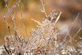 Ice plants trapped in winter frosts coated with Stock Images