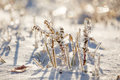 Ice plants trapped in winter frosts coated with Royalty Free Stock Image