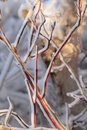 Ice rim on branches of red osier dogwood rims one side a cluster Royalty Free Stock Photo