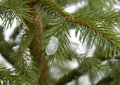 Ice on winter fir Stock Photo