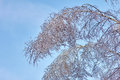 Iced birch leafs, buds, branchs, severe winter and autumn. Royalty Free Stock Photo