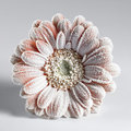 Iced gerbera flower Stock Photos
