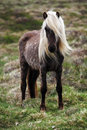 Iceland horse with blond hair Royalty Free Stock Photography