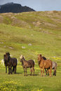 Iceland horses icelandic free grazing on the grass Stock Photos
