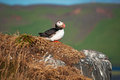 Iceland, Northern Europe, puffin, bird, birdwatching, Dyrholaey, nature reserve, climate change