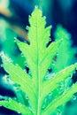 Iceland Poppy leaf Royalty Free Stock Photo
