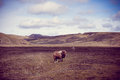 Iceland sheep in in vintage tone Stock Photo