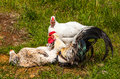 Icelandic chickens image of Stock Images