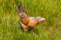 Icelandic chickens image of chicken Royalty Free Stock Image