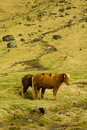 Icelandic farm horses in south iceland Royalty Free Stock Photography