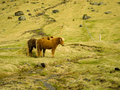 Icelandic farm horses in south iceland Stock Photography