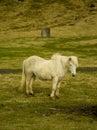 Icelandic farm horses in south iceland Stock Photos