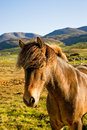 Icelandic horse in a farm late evening. Stock Photos