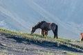 Icelandic horse grazing on the black sand Iceland Royalty Free Stock Photo