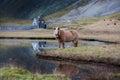 Icelandic horse grazing wild Iceland Royalty Free Stock Photo