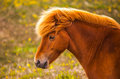Icelandic horse portrait of a Stock Image