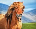 Icelandic horse smiling head shot of Royalty Free Stock Photos