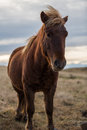 Icelandic horse in the wild sunset Royalty Free Stock Photo