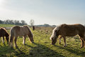 Icelandic horses grazing in a Dutch nature reserve Royalty Free Stock Photo