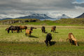 Icelandic horses icelanding pasturing on the meadow under the mountains Stock Images