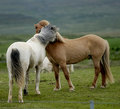 Icelandic horses nestling to each other Royalty Free Stock Photography