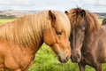 Icelandic horses nuzzling each other two in a pasture in western iceland Stock Photos