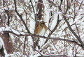 Icelandic redwing in snowy scene medium close up of habitat shot husavik iceland Stock Image