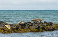 Icelandic seals resting on rocks Royalty Free Stock Photo