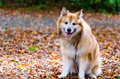 Icelandic sheepdog Royalty Free Stock Photo