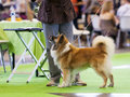 Icelandic sheepdog in the show ring july th paris france isdalurs askur at world dog Royalty Free Stock Photo