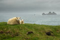 Icelandic sheeps lying sheep and her lamb on the green grass with the sea in the background Royalty Free Stock Photos