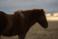 Icelandioc horse in the wild sunset Royalty Free Stock Photo