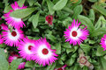 Iceplant crystalline iceplant mesembryanthemum crystallinum ornamental spreading herb with ovate to spathulate glistening leaves Stock Images