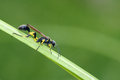 Ichneumon fly a is resting on grass leaf Stock Photo
