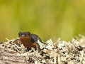 Ichthyosaura alpestris alpine newt frontal view Royalty Free Stock Photos