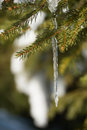 Icicle on the branch Stock Photo
