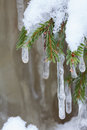 Icicle hanging from spruce branch Royalty Free Stock Photo