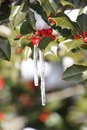 Icicle on holly tree in winter Royalty Free Stock Photography
