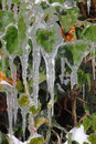 Icicles on green leaves of plant Royalty Free Stock Images