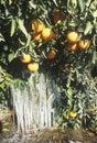 Icicles on an Orange Tree, Cuyama, California Royalty Free Stock Photo