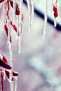 Icicles over branches Royalty Free Stock Image