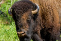 An iconic american bison or buffalo in oklahoma also known as being raised herds roamed wild on the north Stock Image