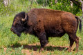An iconic american bison or buffalo in oklahoma also known as being raised herds roamed wild on the north Stock Images